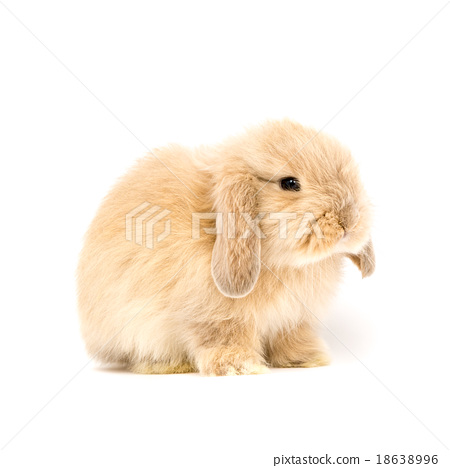 Baby Holland lop rabbit - Isolated on white 18638996