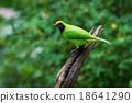 Golden-fronted Leafbird on thailand 18641290