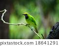 Golden-fronted Leafbird on leaf 18641291