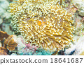 Nemo fish in front of their anemone home. 18641687