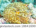 Anemone and anemone fish 18641690