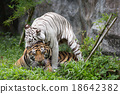 Tigers in zoo 18642382