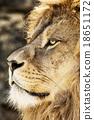 Barbary lion portrait (Panthera leo leo) 18651172