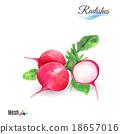 Watercolor radishes 18657016