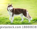 Beautiful siberian husky walking 18660638