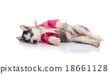 puppy in clothes on a white background 18661128