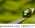 Rainbow shield bug holding grass 18662217