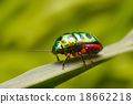 Rainbow shield bug holding grass 18662218