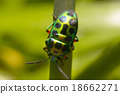 Rainbow shield bug holding grass 18662271