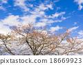 푸른, 하늘, 벚나무 18669923