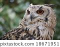 bengal, eagle, owl 18671951