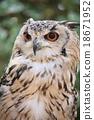 bengal, eagle, owl 18671952