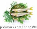 香魚 俯視 淡水魚 18672399