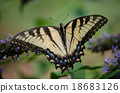 swallowtail butterfly, swallowtail, butterflies 18683126