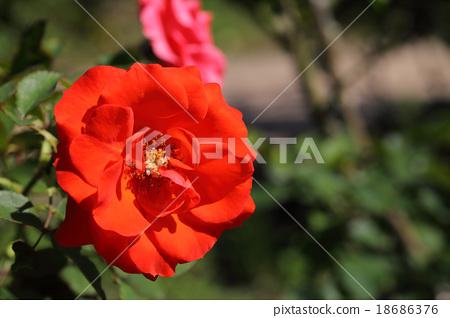 자지 장미 꽃 18686376