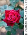 Rose 18687584