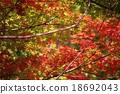 楓樹 紅楓 楓葉 18692043