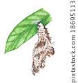 butterfly pupa 18695113