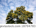 柚子(小柑橘類水果) 果園的樹 香櫞樹 18704783
