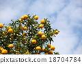 柚子(小柑橘類水果) 果園的樹 香櫞樹 18704784