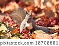 松鼠 北海道松鼠 日本北海道松鼠 18708681