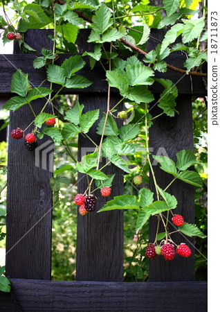 Boysenberry attracted to the fence 18711873