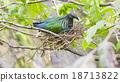 Nicobar pigeon in nest(Caloenas nicobarica) 18713822