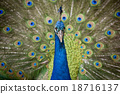 Portrait of beautiful peacock with feathers out 18716137