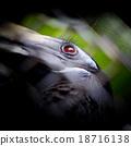 Bushy-Crested Hornbill, closeup in the zoo 18716138