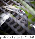 Bushy-Crested Hornbill, closeup in the zoo 18716140