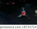 鲤鱼 锦鲤 18735724