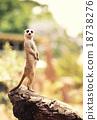 Meerkat (Surikate) 18738276