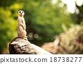 Meerkat (Surikate) 18738277