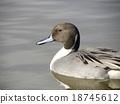 针尾鸭 野生鸟类 野鸟 18745612