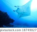 魟魚 蝠鱝 黃貂魚 18749027