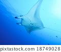魟魚 蝠鱝 黃貂魚 18749028