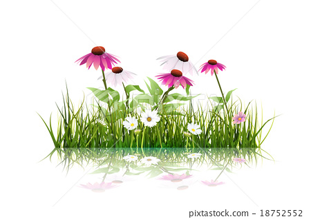 Green grass,white daisy on white background 18752552