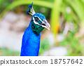 Peacock head 18757642