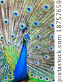 Peacock spread feathers 18757659