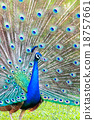 Peacock spread feathers 18757661