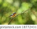 Mugimaki Flycatcher 18772431