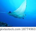 魟魚 水生的 黃貂魚 18774963