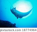 魟魚 水生的 黃貂魚 18774964