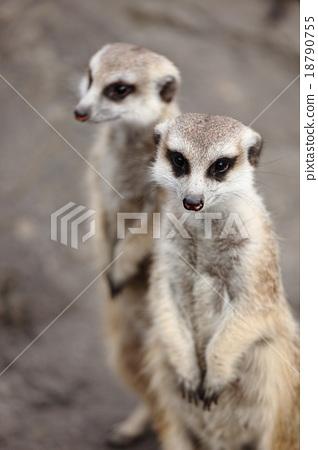 meerkat 18790755
