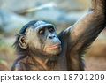 bonobo portrait female ape close up 18791209