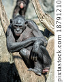 bonobo portrait female ape close up 18791210