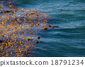 kelp algae in pacific ocean 18791234