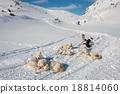 Greenland sled dog 18814060
