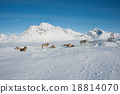 Greenland sled dogs resting before hard working 18814070