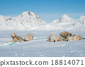 Greenland sled dogs resting before hard working 18814071